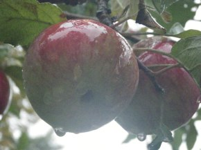 Letters from Frost | The Apple Tree That's Still Standing