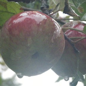 Letters from Frost | The Apple Tree That's StillStanding